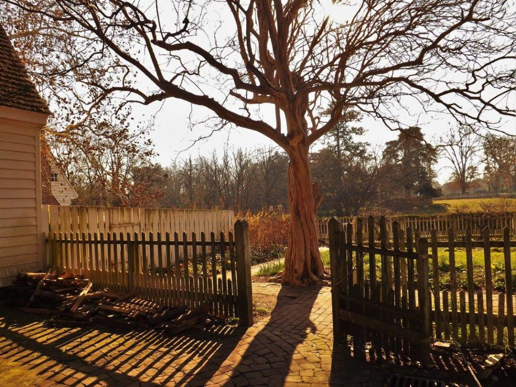 Crepe Myrtle at Colonial Williamsburg