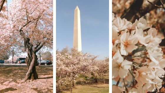 3 Days in Washington DC: The Ultimate Cherry Blossom Festival Itinerary