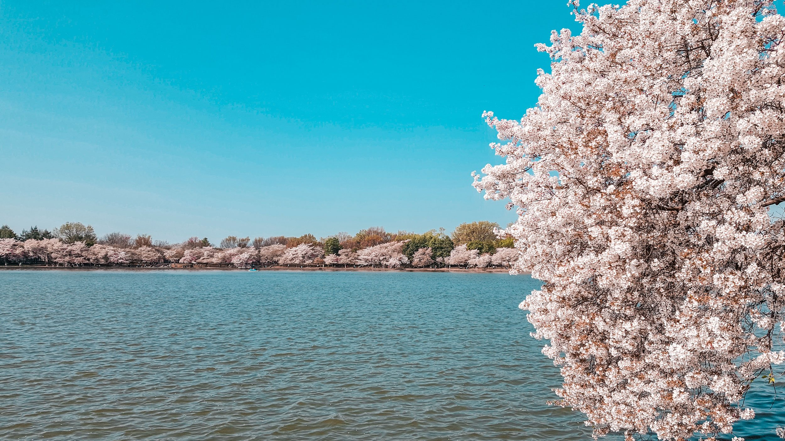 Tidal Basin cherry blossoms in Washington DC | Best Time to Visit Virginia