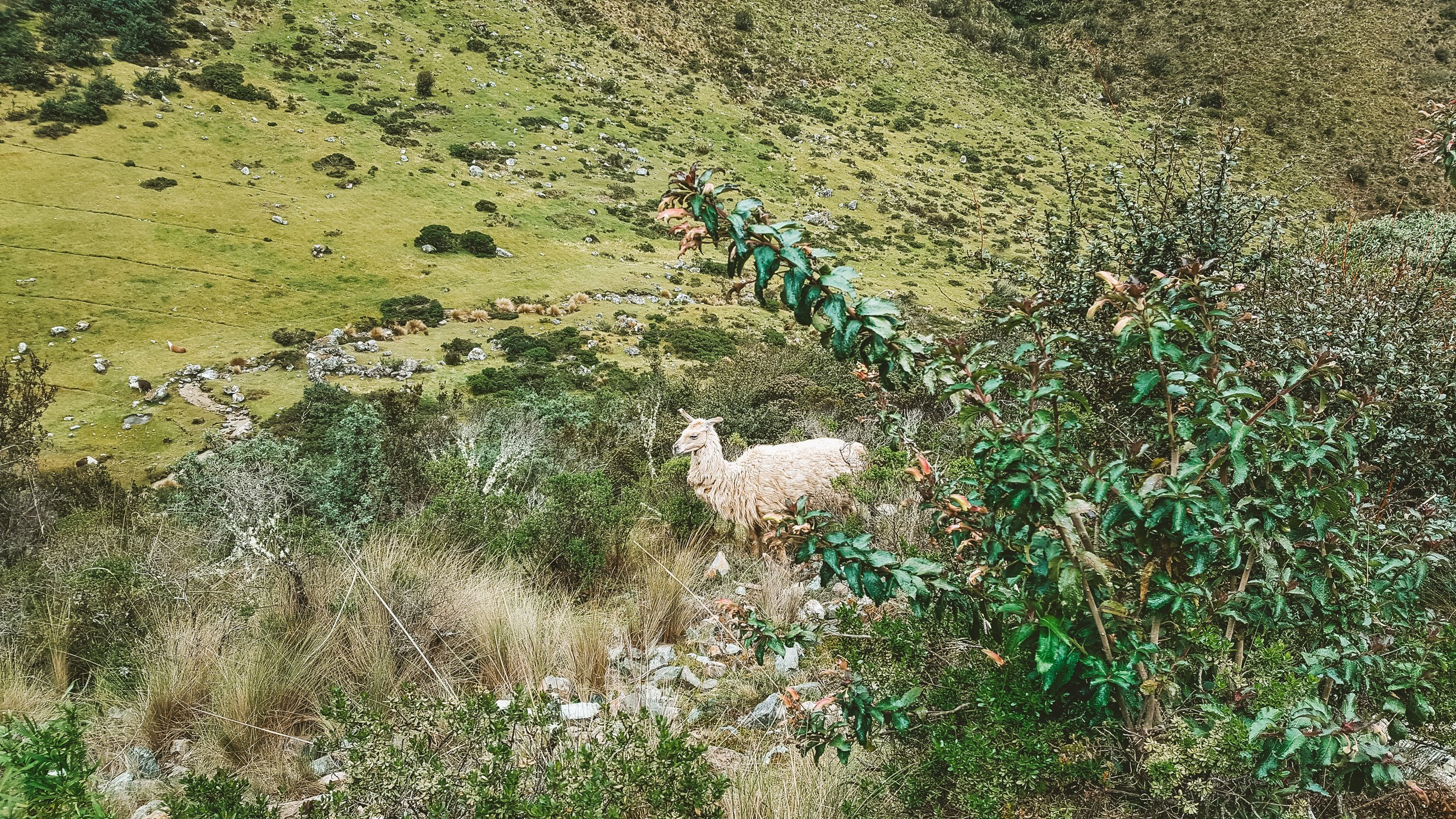 llama on the Inca Trail in Peru | How to Hike the Inca Trail as a Solo Female Traveler